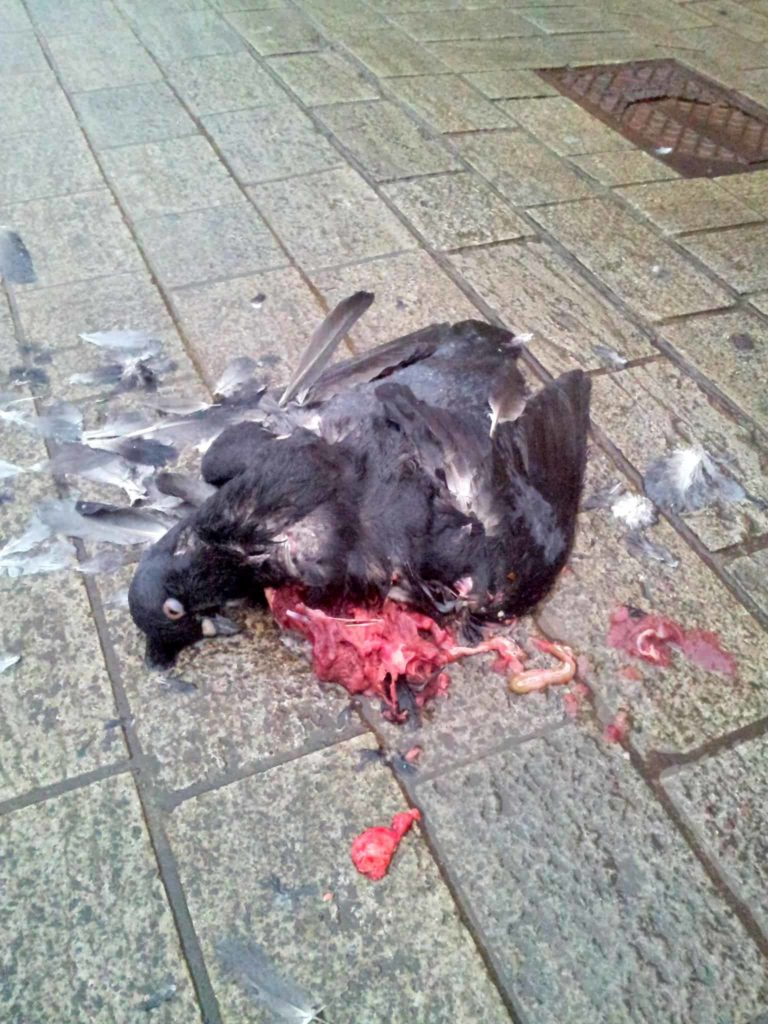Tote Taube auf dem grausamen Stein des Marktplatzes