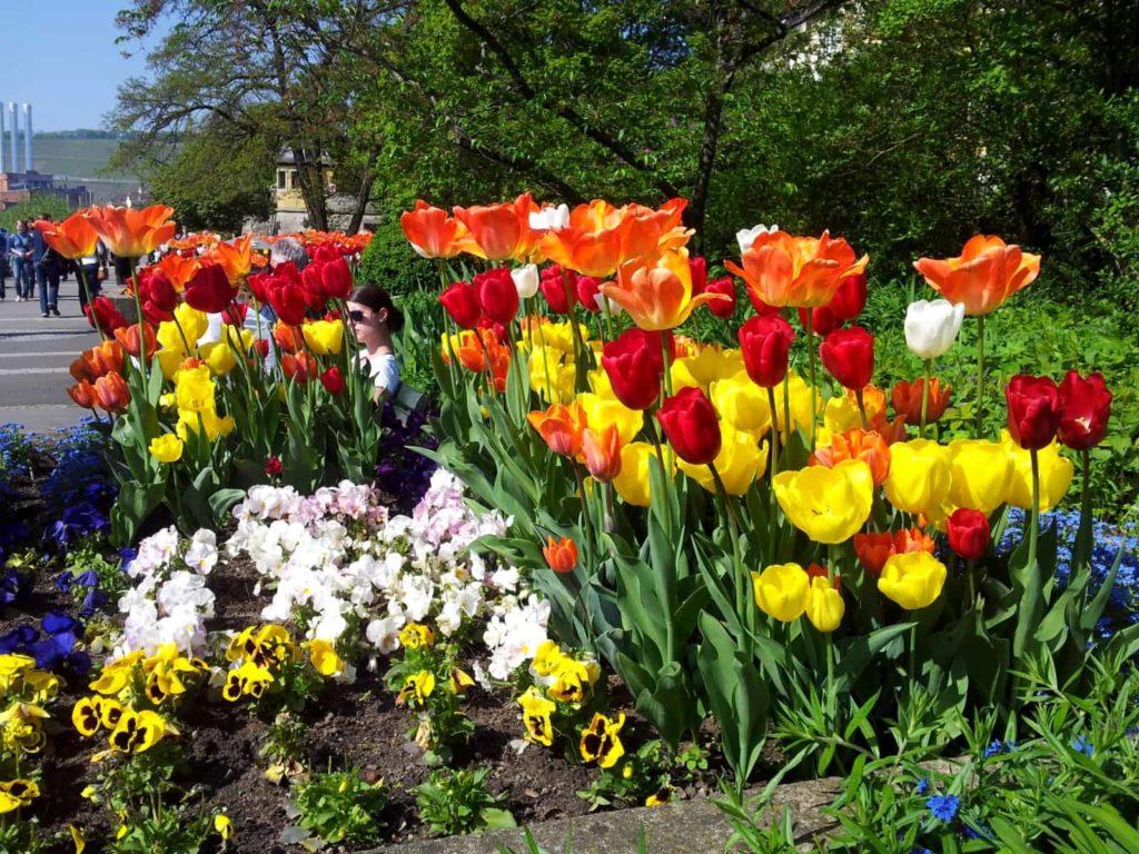 Frühling und Tulpen