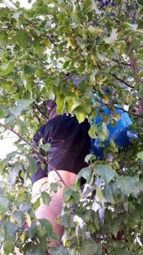 Hank im Baum, die Ikea-Tüte bekam eine Zwetschgenfüllung.