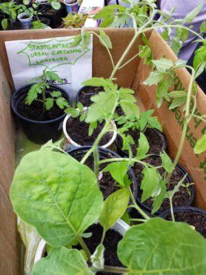 Babytomatenpflanzen vom Flohmarkt