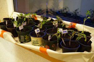 Die Tomaten-Armee wächst und macht sich kampf- und essbereit.