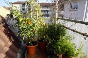 Tomatenpflanzen neben Minze und Basilikum